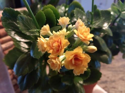 kanlchoe bloom
